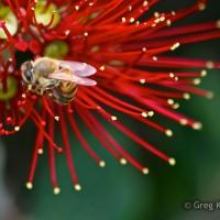 Bottlebrush Bee, Greg Klamt